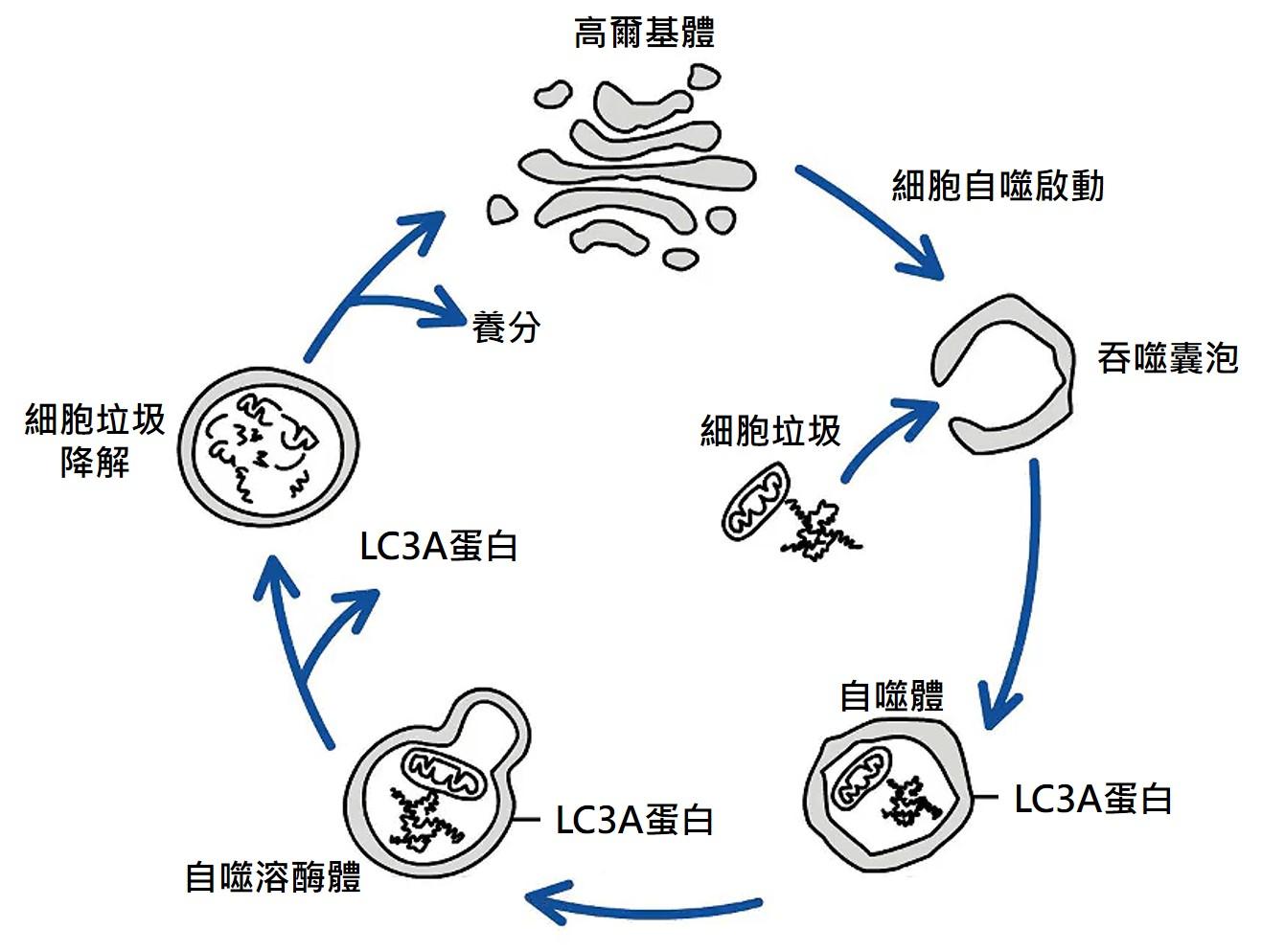 細胞自噬機制