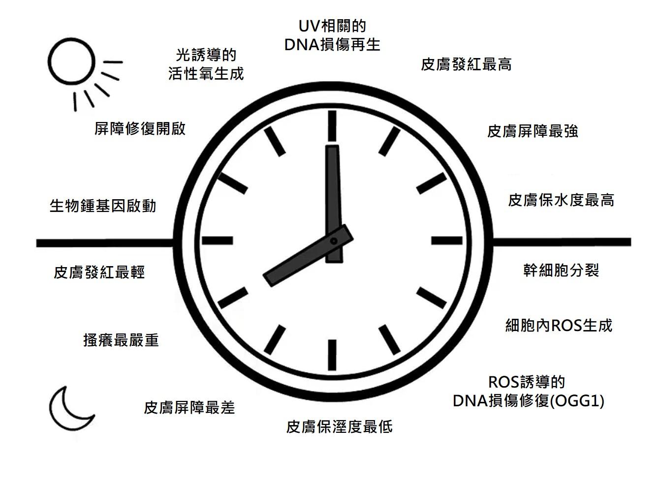 肌膚生理時鐘